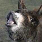 donkey jackass