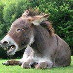 donkey jackass laugh laughing