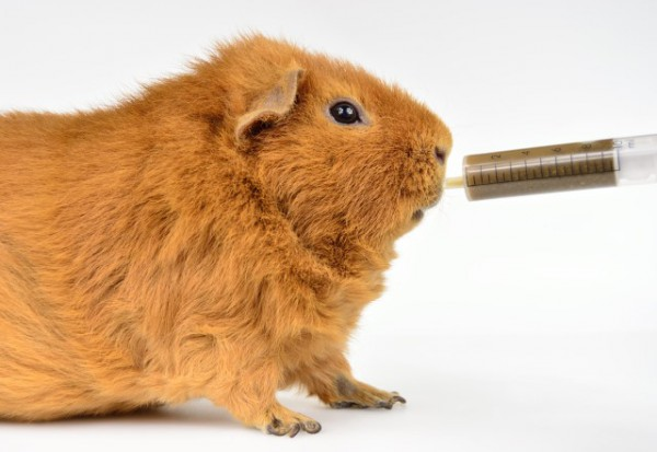 force_feed_guinea_pig