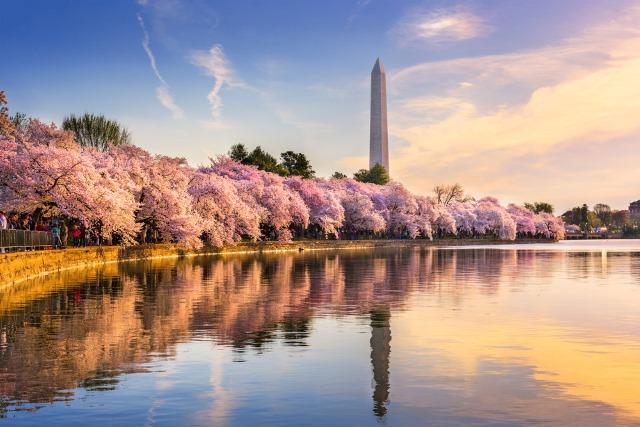 dc-cherry-blossom