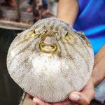 fish_bloat_porcupine_pufferfish