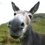mule donkey jackass